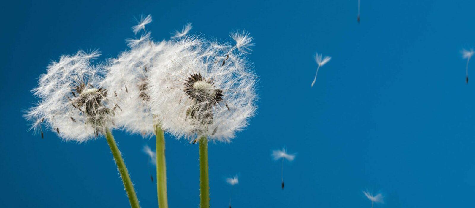 Symbolbild Allergie zeigt 3 Pusteblumen mit davon fliegenden Pollen
