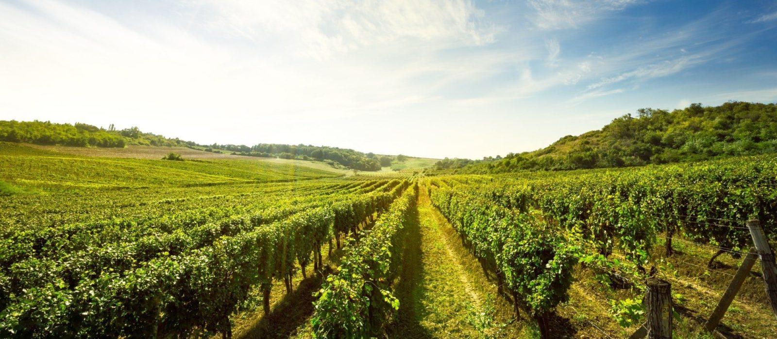 Symbolbild Caudalie zeigt ein Weinanbau