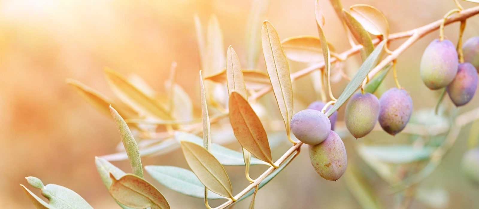 Symbolbild Dr. Theiss Medipharma Cosmetics zeigt einen Olivenbaum