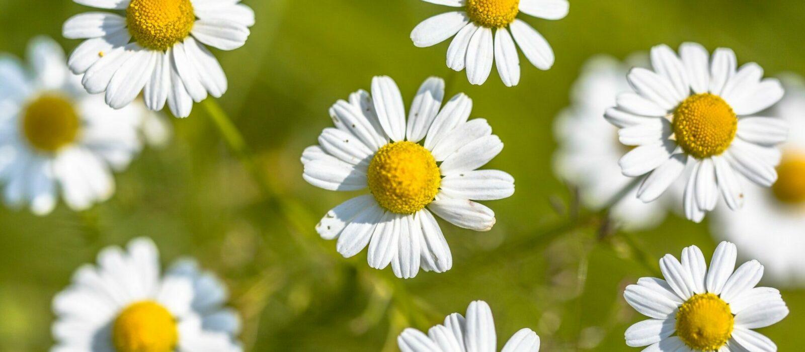 Symbolbild Naturheilkunde zeigt Kamille